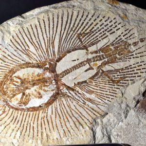 dsc_0060-raie-fossilise